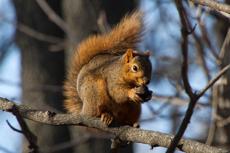 Day 50 - 19 February 2012<br /> I came upon this guy enjoying a walnut out on my walk on the greenbelt today.