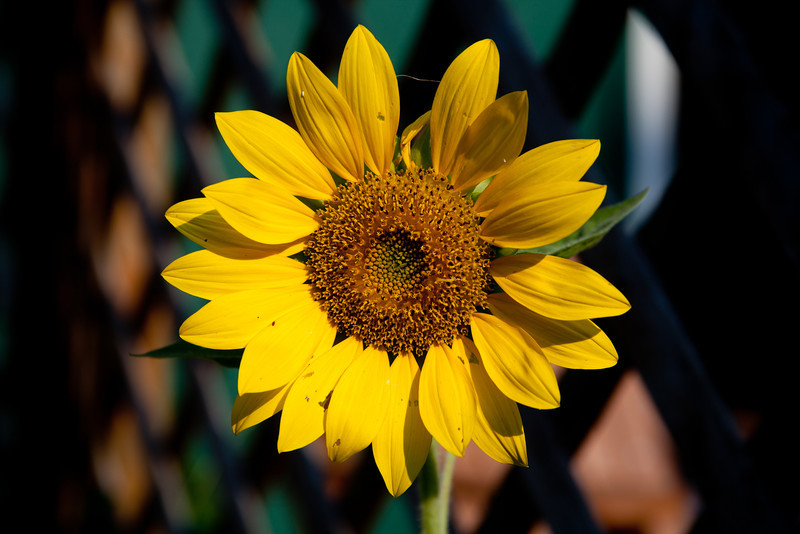 Day 183 - 1 July 2012<br /> This is a beautiful surprise in our flower bed.  A stray seed from our bird feeder gave us some sunflowers that we didn't have to plant.