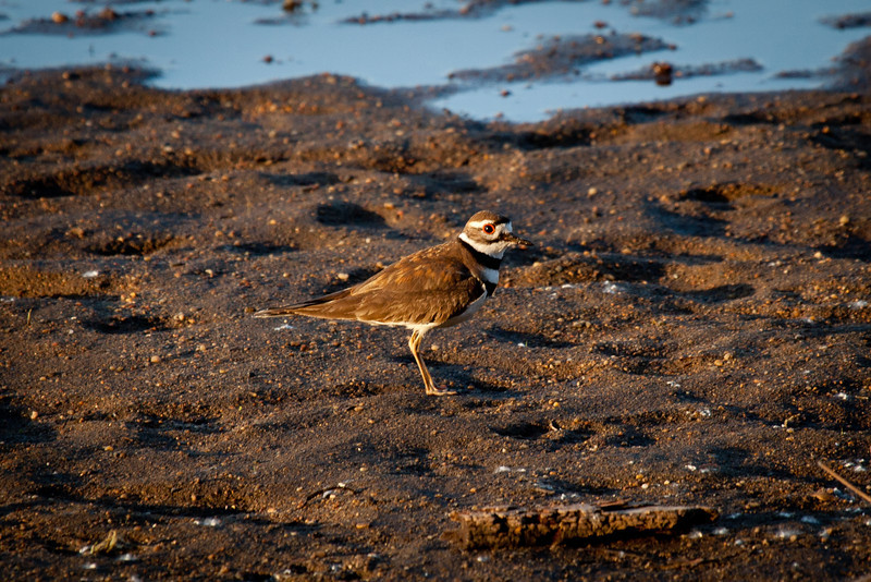 Day 136 - 15 May 2012<br /> I came across this killdeer this morning looking for food along the shoreline at Gray's Lake.
