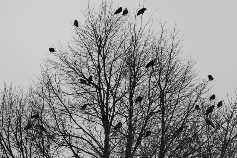 Day 44 - 13 February 2012<br /> These birds really make you think ---------  NEVER MORE<br /> Had to do this one in Black and White