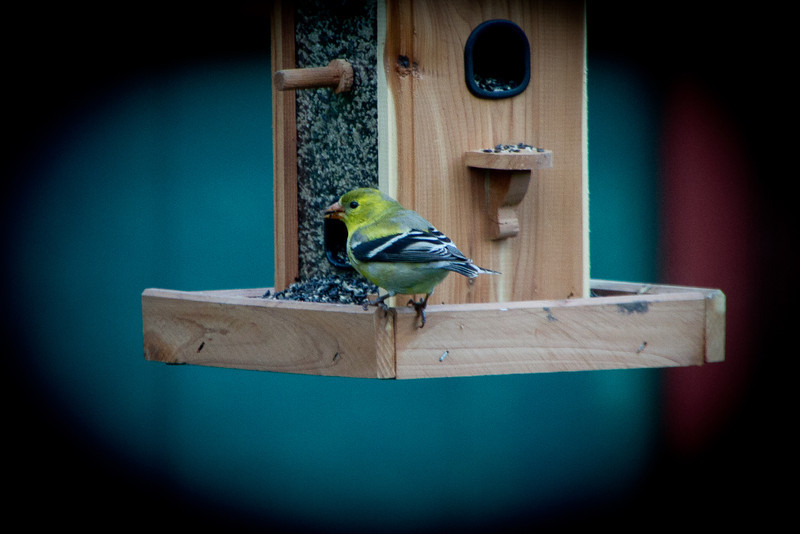 "Day 121 - 30 April 2012<br /> I guess that there really is something to the saying ""build it and they will come.""  The goldfinch was back at the feeder tonight.  Took this one through the glass door."
