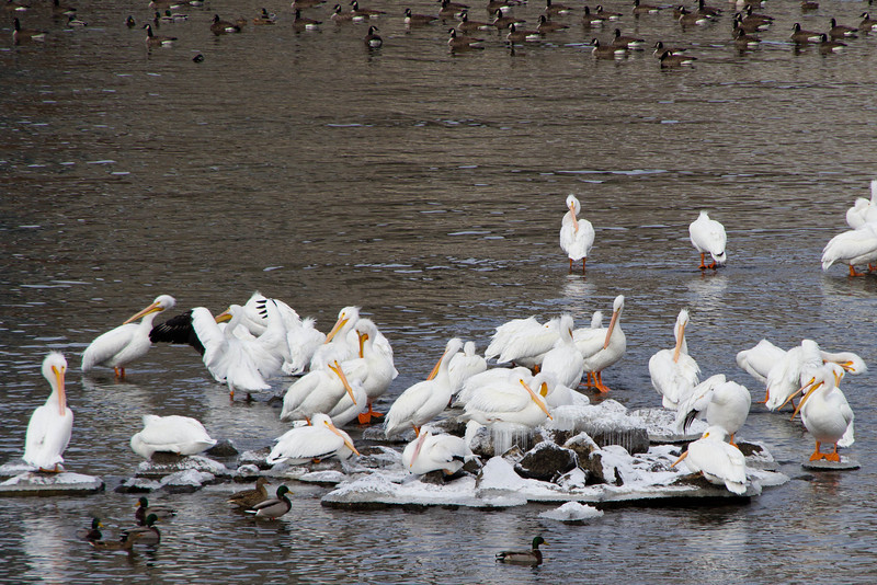 Day 14 - 14 January 2012<br /> Duck, Pelican, Goose