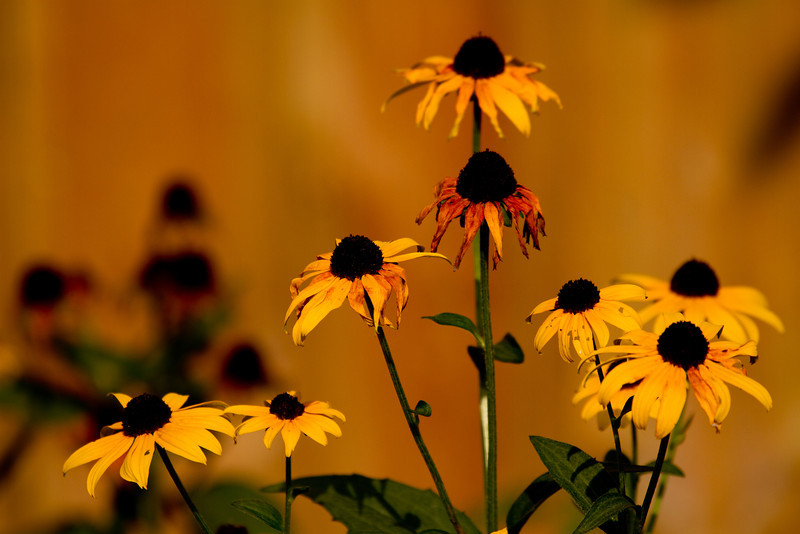 Day 259 - 16 September 2012<br /> The Black Eyed Susan's are starting to fade as fall approaches.
