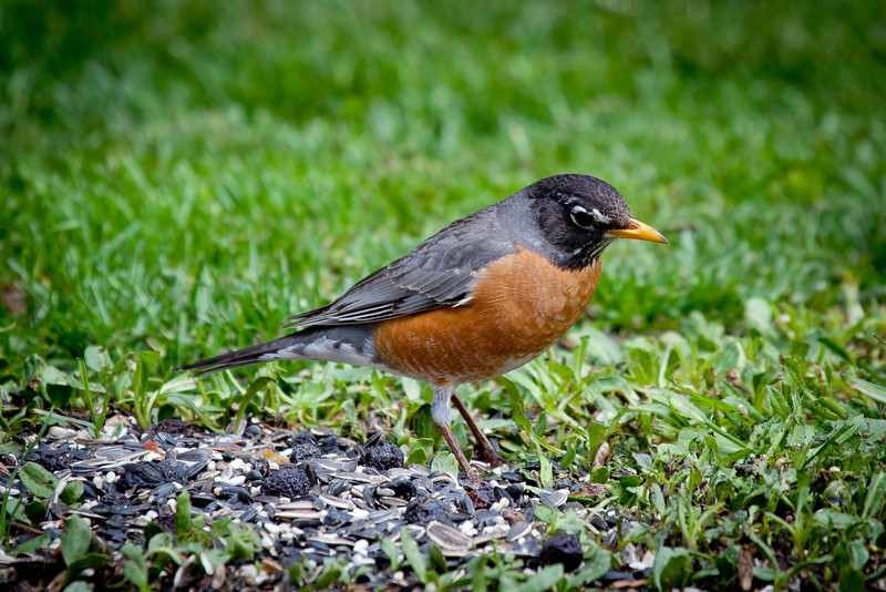 "Day 113 - 22 April 2012<br /> The robins were visting our bird feeders today.  We call them ""ground birds"" since we always see them on the ground instead of on the feeder."