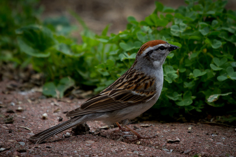 Day 132 - 11 May 2012<br /> A chipping sparrow came calling at our bird feeders this evening.