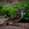 Day 132 - 11 May 2012 A chipping sparrow came calling at our bird feeders this evening.