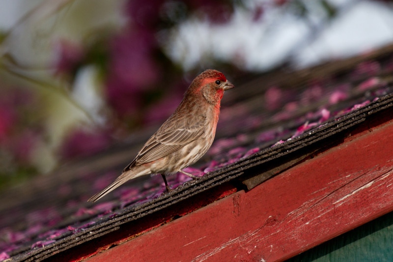 Day 90 - 30 March 2012<br /> Hello little sparrow - not really<br /> I stand corrected _ House Finch <br /> Thanks for the correction