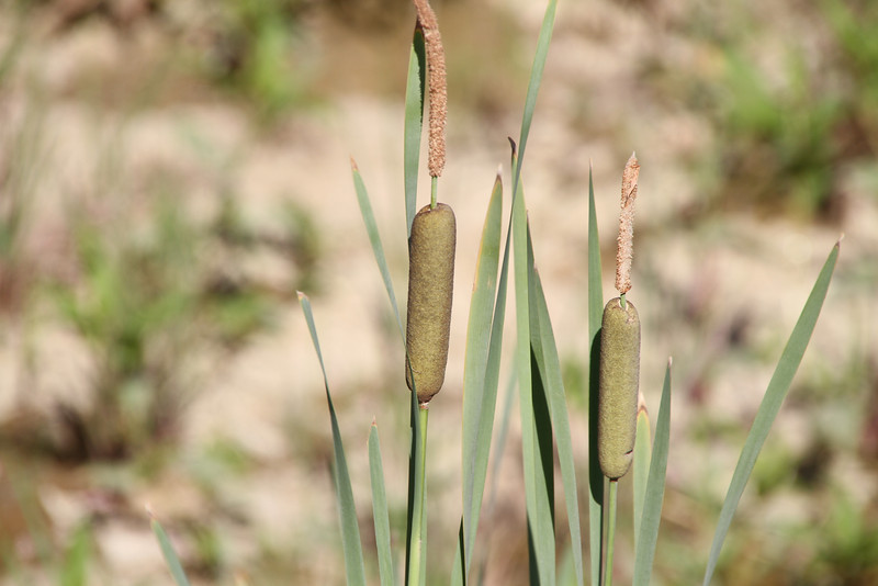 Day 178 - 26 June 2012<br /> Spotted these cat tails in a road side ditch today.