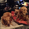 K-9 Comfort dogs Chewie (left), Ruthie (back) and Luther (right)