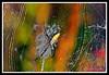 Argiope Garden Spider-08-29-03cr