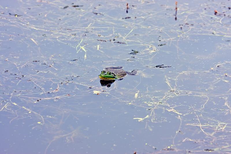 Bull Frog-05-29-01