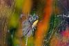 Argiope Garden Spider-08-29-03