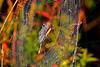Argiope Garden Spider-08-29-02
