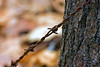Barbed Wire-02-29-01