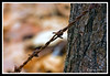 Barbed Wire-02-29-01cr