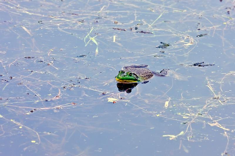 Bull Frog-05-29-01a