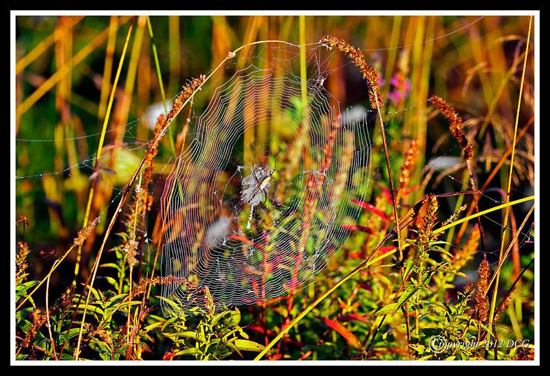 Argiope Garden Spider-08-29-01cr