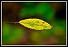 Birch Leaf-08-20-01cr