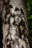 Birch Tree-09-13-01