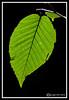 Birch Leaf-08-20-02cr