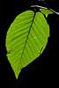 Birch Leaf-08-20-02
