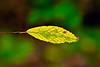 Birch Leaf-08-20-01