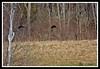 American Black Duck-03-27-03cr