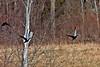 American Black Duck-03-27-02a