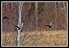 American Black Duck-03-27-02acr