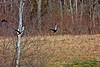 American Black Duck-03-27-02