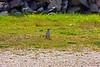 Northern Mockingbird at Fort Stark