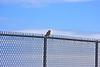 American Kestrel Smallest North American hawk