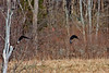 American Black Duck-03-27-03a