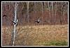 American Black Duck-03-27-02cr