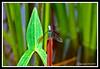 Dragonfly-08-16-01acr