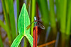 Dragonfly-08-16-01a