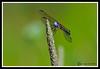 Dragonfly-07-15-02acr