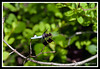Common Whitetail Dragonfly-06-07-01cr