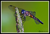 Dragonfly-07-15-01bcr