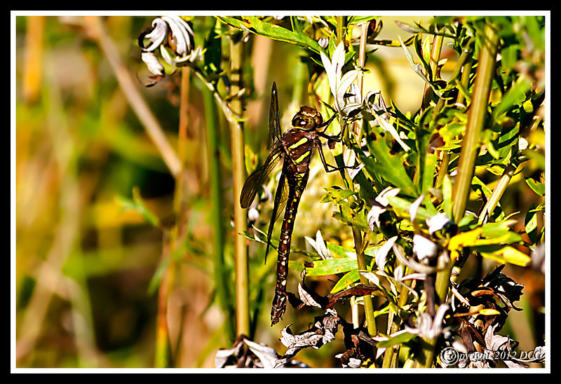 Brown Hawker Dragonfly-08-29-01acr