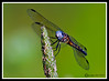 Dragonfly-07-15-02bcr