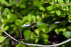 Common Whitetail Dragonfly-06-07-01