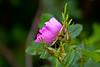 Beach Rose (Wrinkled Rose)