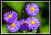 Aster-06-30-01cr