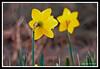 Daffodil-03-31-10acr