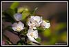 Apple Tree Blossoms-04-18-01cr
