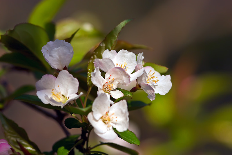 Apple Tree Blossoms-04-18-01