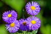 Aster-06-30-01