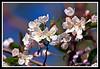 Apple Tree Blossoms-04-18-02cr