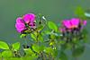 Beach Rose-06-11-03